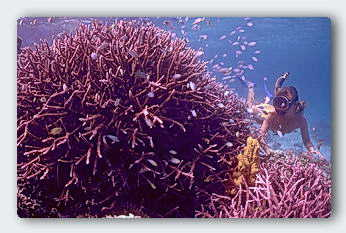 Two species of Acropora growing as one rounded thicket. How do they coordinate growth so the ends of the branches form a smooth dome? © http://www.thread-of-awareness-in-chaos.com/order.html